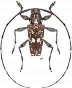 Colobothea chontalensis, ♂, Colobotheini, Nicaragua