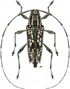 Colobothea dispersa, ♀, Colobotheini, Nicaragua