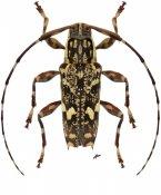 Colobothea distincta, ♂, Colobotheini, Nicaragua