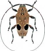 Priscilla hypsiomoides ♀, Colobotheini, French Guiana