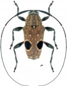Priscilla hypsiomoides, ♂, Colobotheini, French Guiana