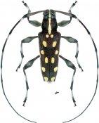 Sangaris multimaculata, ♂, Colobotheini, Nicaragua