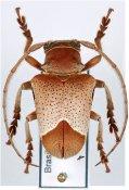 Compsosoma perpulchrum ♀, Compsosomatini, Santa Catarina