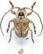 Corus breuningi, ♂, Crossotini, Gabon