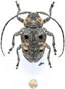 Dichostatoides kuntzeni, ♂, Crossotini, Gabon