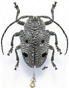 Dichostatoides lobatus lobatus, ♀, Crossotini, Gabon