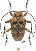 Epirochroa acutecostata, ♀, Crossotini, Madagascar
