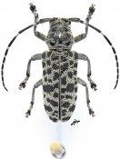 Frea jaguarita, ♀, Crossotini, Gabon