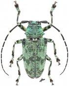 Frea mniszechii, ♀, Crossotini, Gabon