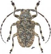Frea tuberculata, ♂, Crossotini, Gabon