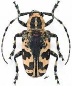 Leucographus nigropictus, ♀, Crossotini, Madagascar