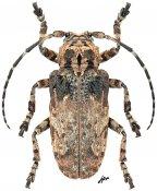 Moechotypa asiatica, ♀, Crossotini, Thailand