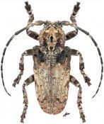 Moechotypa asiatica, ♂, Crossotini, Thailand