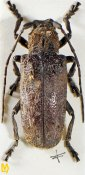 Moechotypa asiatica, ♀, Crossotini, Nepal