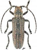 Niphecyra rufolineata, ♀, Crossotini, Gabon