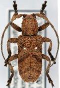 Biobessa albopunctata ♂, Crossotini, Ethiopia