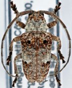 Crossotus albicollis, ♂, Crossotini, Senegal