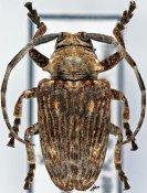 Crossotus barbatus, ♀, Crossotini, Kenya