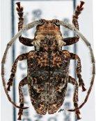 Crossotus stigmaticus, ♂, Crossotini, Senegal