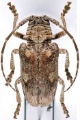 Crossotus subocellatus, ♀, Crossotini, Djibouti