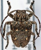 Dichostates ayresi, ♂, Crossotini, Kenya