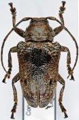 Epidichostates molossus, ♀, Crossotini, R. P. Congo