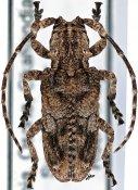 Hecyromorpha plagicollis, ♀, Crossotini, Namibia