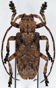 Hecyra terrea ♂, Crossotini, Zambia