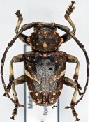 Leucographus albovarius, ♂, Crossotini, Madagascar