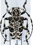 Leucographus variegatus, ♂, Crossotini, Madagascar