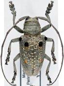 Megalofrea bioculata, ♂, Crossotini, Madagascar