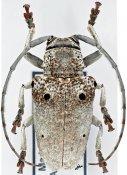 Megalofrea cinerascens, ♀, Crossotini, Madagascar