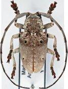 Megalofrea cinerascens, ♂, Crossotini, Madagascar