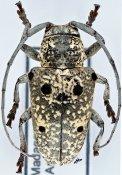 Megalofrea decorsei, ♀, Crossotini, Madagascar