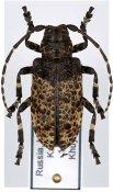 Moechotypa diphysis, ♀, Crossotini, Far East Russia