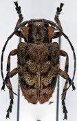 Phanis armicollis ♀, Crossotini, Ethiopia