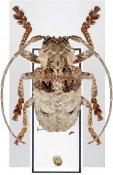 Tetradia lophoptera ♂, Crossotini, Tanzania