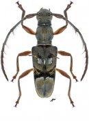 Omosarotes singularis, ♀, Acanthomerosternoplonini, Nicaragua