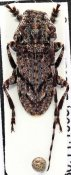 Cnemolia schoutedeni, ♂, Ancylonotini, Zimbabwe