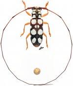 Cervoglenea sp., ♀, Desmiphorini, Vietnam