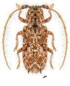 Desmiphora santossilvai, ♀, Desmiphorini, French Guiana
