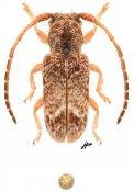 Desmiphora variola, ♂, Desmiphorini, Quintana Roo