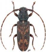 Diadelioides similis, ♀, Desmiphorini, Gabon