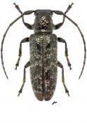 Estoloides maesi, ♀, Desmiphorini, Nicaragua