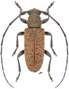 Estoloides strandiella ♂, Desmiphorini, Nicaragua