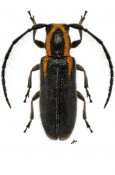 Eupogonius brevifascia ♀, Desmiphorini, Nicaragua