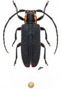 Eupogonius subarmatus, ♀, Desmiphorini, Vermont