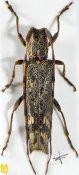 Euseboides gorodinskii, ♂, Desmiphorini, Uttar Pradesh