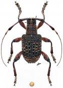 Iphiothe criopsioides, ♂, Desmiphorini, Borneo