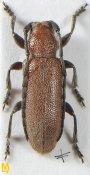Pseudanaesthetis assamensis, ♀, Desmiphorini, Uttar Pradesh